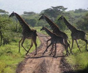 Układanka grupy żyrafy przejściach drogowych