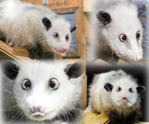 Układanka Heidi, Zoo w Lipsku Opossum, Niemcy