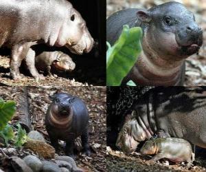 Układanka Hipopotam karłowaty w Taronga Zoo