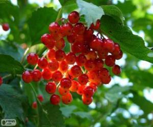 Układanka Holly z jego czerwone owoce