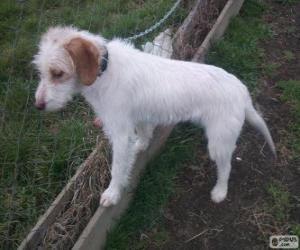Układanka Istria Coarse długowłosy pies szczeniak