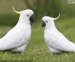 Układanka Kakadu żółtoczuba