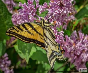 Układanka Kanadyjski Tiger Swallowtail motyl