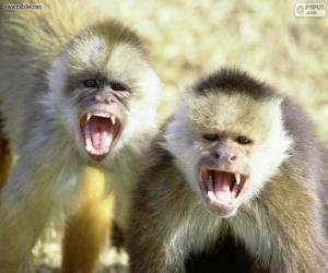 Układanka Kapucynów małpy