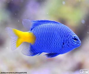 Układanka Klaun ryb, niebieski