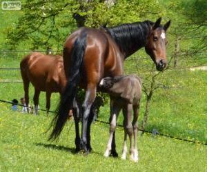 Układanka Koń badeńsko-wirtemberski, koń, pochodzące z Niemiec
