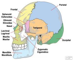 Układanka Kości czaszki człowieka