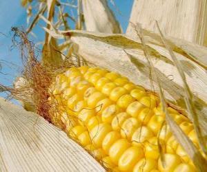 Układanka Kolby kukurydzy