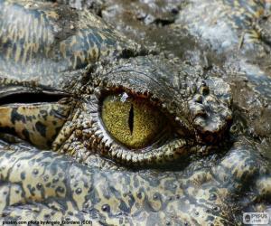 Układanka Krokodyl oczu