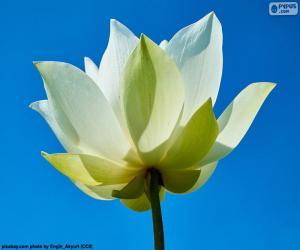 Układanka Kwiat białego lotosu