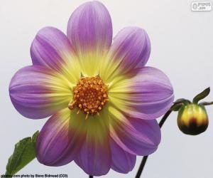 Układanka Kwiat Dalii