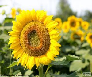 Układanka Kwiat słonecznika