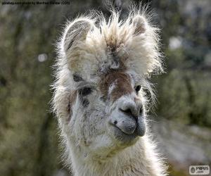 Układanka Lama andyjska, głowa