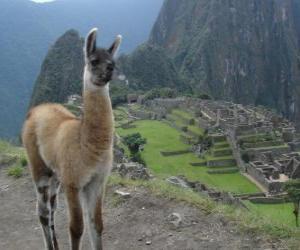 Układanka Lama, najbardziej znaną zwierząt starożytnym Imperium Inków