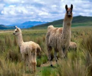 Układanka Lama