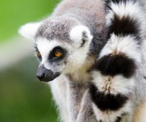 Układanka Lemur katta