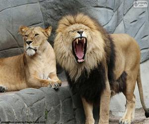 Układanka Lwica i lew