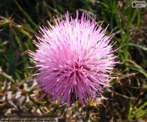 Układanka Mimosa borealis kwiat