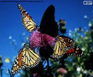 Układanka Monarch motyle