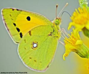 Układanka Motyl wapna