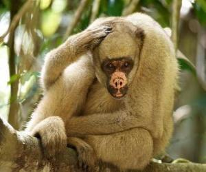 Układanka Muriquis, znany również jako włochaty monkeys spider