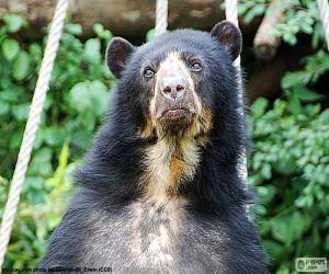 Układanka Niedźwiedź andyjski