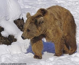 Układanka Niedźwiedź brunatny na śniegu
