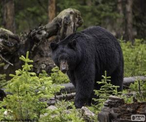 Układanka Niedźwiedź czarny