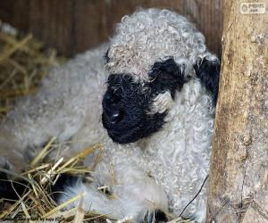 Układanka Nos czarny owiec