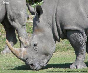 Układanka Nosorożec głowy
