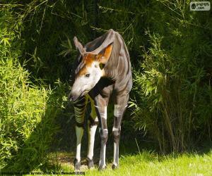 Układanka Okapi leśne