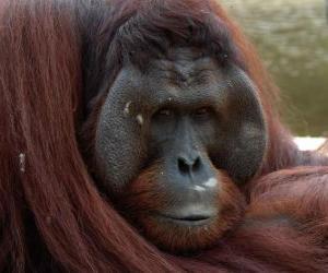 Układanka Orangutan borneański