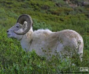 Układanka Owca Dalla (mężczyzna)