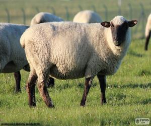 Układanka Owca