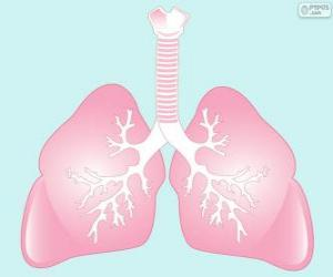 Układanka Płuca
