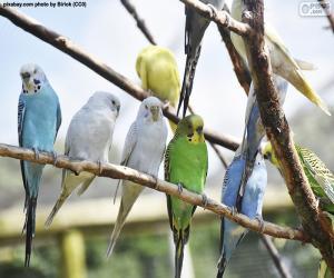 Układanka Papużka falista