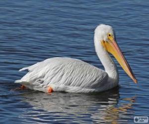 Układanka Pelikan dzioborogi