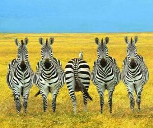 Układanka Pięciu zebry