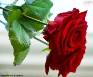 Układanka Piękna róża