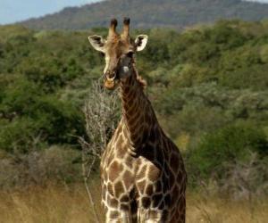 Układanka Piękne żyrafa