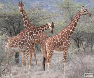 Układanka Piękne żyrafy