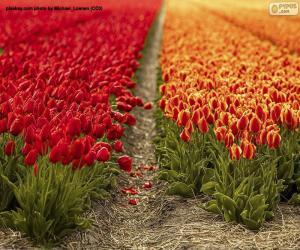 Układanka Pole tulipanów