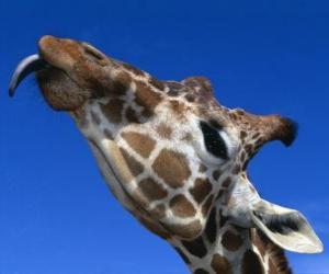 Układanka Portret szefa piękny żyrafa