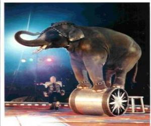 Układanka Przeszkoleni słoń działających w cyrku, chodzenia na cylinder