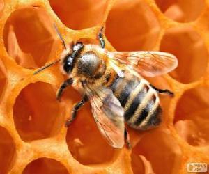Układanka Pszczoła miodna. Pszczoły, które produkują miód