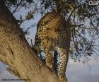 Lampart na gałęzi drzewa