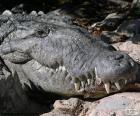Szef krokodyla
