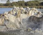 Stado dzikich koni w wodzie