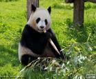 Panda, jedzenie