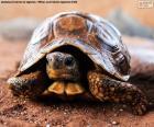 Żółwi lądowych